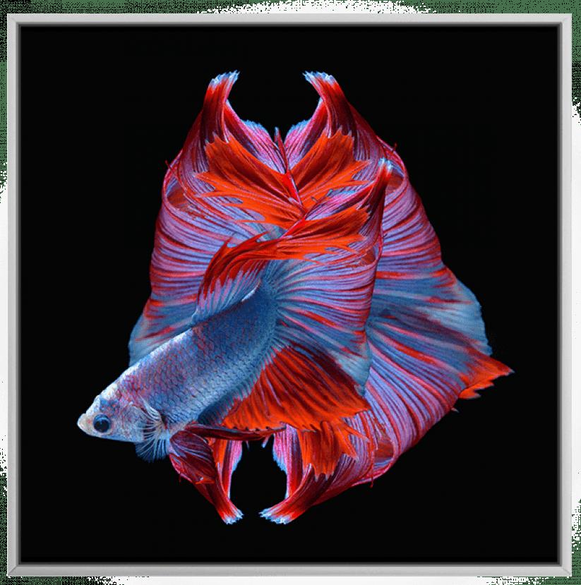 Qudro Decorativo Peixe Beta Vermelho Azul