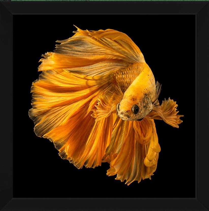 Qudro Decorativo Peixe Beta Dourado
